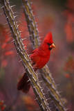 Portrait of a Male Cardinal, Cardinalis Cardinalis, Perched on a Thorny Branch Photographic Print by John Cancalosi