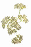 Yarrow Flower Buds Photographic Print by Robert Llewellyn