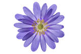 A Purple Anemone Flower Photographic Print by Robert Llewellyn