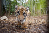 A Critically-Endangered Five-Month-Old Sumatran Tiger Cub at Zoo Atlanta Photographic Print by Joel Sartore