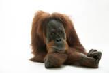 A Studio Portrait of a Critically Endangered Sumatran Orangutan, Pongo Abelii Photographic Print by Joel Sartore
