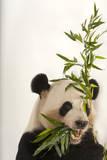 An Endangered Giant Panda, Ailuropoda Melanoleuca, at Zoo Atlanta Photographic Print by Joel Sartore