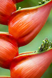 Close Up of a Cluster of Heliconia Flowers Fotografisk trykk av Michael Melford