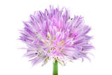 A Chive Flower Photographic Print by Robert Llewellyn