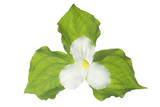 A Trillium Flower Photographic Print by Robert Llewellyn