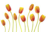 Tulip Flowers Photographic Print by Robert Llewellyn