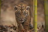A Critically-Endangered Sumatran Tiger Cub, Panthera Tigris Sumatrae, at Zoo Atlanta Photographic Print by Joel Sartore