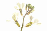 Coriander Flowers Photographic Print by Robert Llewellyn