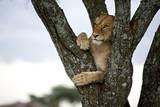 An Alert Lion Perches from a Tree Fotodruck von Michael Nichols