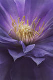The Stamens of a Clematis Flower Photographic Print by Robert Llewellyn