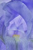 An Iris Flower Reproduction photographique par Robert Llewellyn