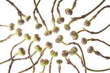 Dogwood Buds Photographic Print by Robert Llewellyn