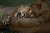 A Pair of Vumbi Lions Spar Photographic Print by Michael Nichols