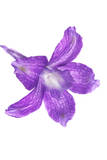 A Larkspur Flower Photographic Print by Robert Llewellyn