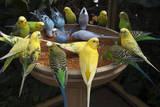 Parakeets or Budgies Fotografisk tryk af Joel Sartore