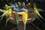 Parakeets or Budgies Photographic Print by Joel Sartore