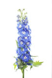 Larkspur Flowers Photographic Print by Robert Llewellyn