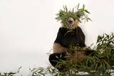 An Endangered Giant Panda, Ailuropoda Melanoleuca, at Zoo Atlanta Photographic Print by Joel Sartore