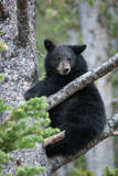 A Black Bear Sits on a Tree Branch Looking Around Reproduction photographique par Tom Murphy