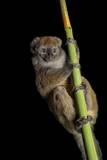 A Vulnerable Gray Bamboo Lemur, Hapalemur Griseus Griseus, at the Cincinnati Zoo Photographic Print by Joel Sartore