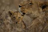 A Lioness with Cub Resting in the Serengeti Plains Fotografie-Druck von Michael Nichols