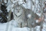 Portrait of a Canadian Lynx, Lynx Canadensis, in a Snowy Forest Setting Photographic Print by Peter Mather