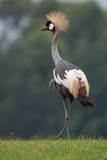 Portrait of a Grey Crowned Crane, Balearica Regulorum Photographic Print by Tom Murphy