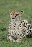 A Portrait of a Cheetah Lying in Grass Photographic Print by Tom Murphy
