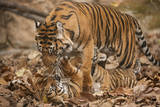 A Critically-Endangered Female Sumatran Tiger and Her Five-Month-Old Cub at Zoo Atlanta Photographic Print by Joel Sartore