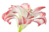 An Amaryllis Flower Photographic Print by Robert Llewellyn