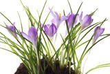 Crocus Flowers in Soil Photographic Print by Robert Llewellyn