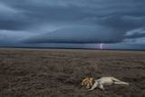 A Male Lion at Rest in the Serengeti Plains During a Lightning Storm Fotografie-Druck von Michael Nichols