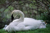 An Adult Trumpeter Swan and Her Newly Hatched Cygnets Photographic Print by Tom Murphy