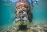 An Atlantic Walrus Rests in the Shallows Off Greenland Photographic Print by Paul Nicklen