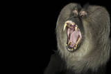 An Endangered Lion-Tailed Macaque, Macaca Silenus, at the Cincinnati Zoo Photographic Print by Joel Sartore