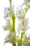 Gladiola Flowers Photographic Print by Robert Llewellyn