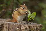 Portrait of an Eastern Chipmunk, Tamias Striatus, Eating a Caterpillar Photographic Print by John Cancalosi