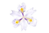 An Iris Flower Photographic Print by Robert Llewellyn
