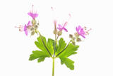 Hardy Geranium Flowers Photographic Print by Robert Llewellyn