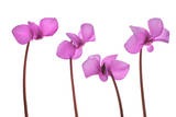 Cyclamen Flowers Photographic Print by Robert Llewellyn