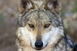 Close Up Portrait of a Captive Mexican Gray Wolf, Canis Lupus Baileyi Photographic Print by Marc Moritsch