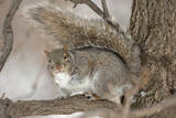 Portrait of an Eastern Gray Squirrel, Sciurus Carolinensis, on a Tree Branch Photographic Print by John Cancalosi