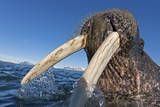 A Male Atlantic Walrus Emerges from the Brine in Svalbard Photographic Print by Paul Nicklen