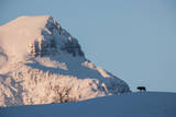 A Lone Wolf Stands on the Crest of a Hill Below Frederick Peak Photographic Print by Tom Murphy