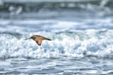 A Sandpiper Flies over Coastal Surf Photographic Print by Keith Ladzinski