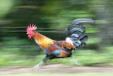 Motion Blur of a Wild Rooster at Hanalei Beach on the Na Pali Coast of Kauai, Hawaii Photographic Print by Rich Reid