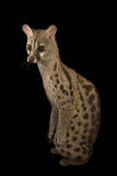 A South African Large-Spotted Genet, Genetta Tigrina, at the Cincinnati Zoo Photographic Print by Joel Sartore