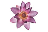 A Lotus Flower Photographic Print by Robert Llewellyn