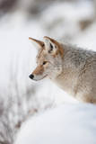 Profile Portrait of an Alert Coyote Standing in Snow Photographic Print by Tom Murphy