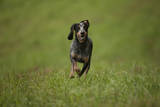 Portrait of a Blue Tick Hound, a Hunting Dog, Running Photographic Print by John Cancalosi